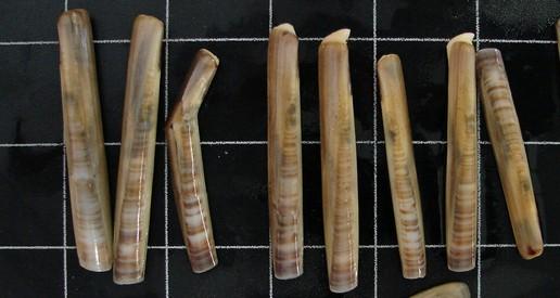 Especie de navalla Ensis Minor, atopada na ría de Vigo. Foto: UDC.