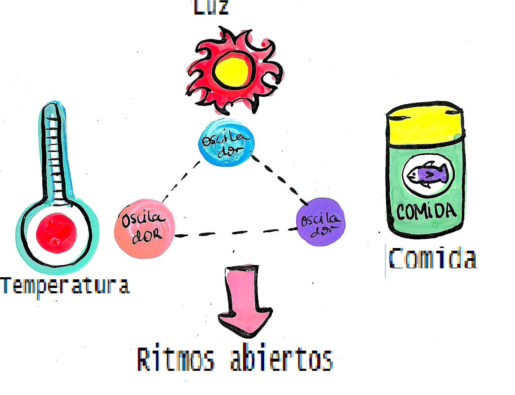 Factores que afectan ós ciclos circadianos.