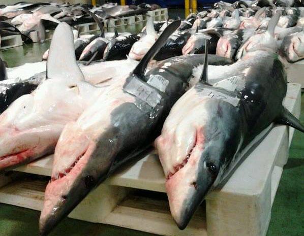 Tiburóns na lonxa de O Berbés, en Vigo. Foto: DUVI