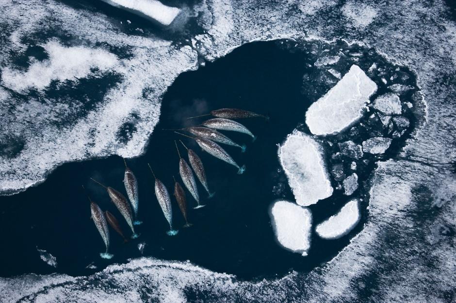 Os narvais percorren o Ártico baixo do xeo e, de cando en vez, atopan un oasis de agua no que tomar un descanso.