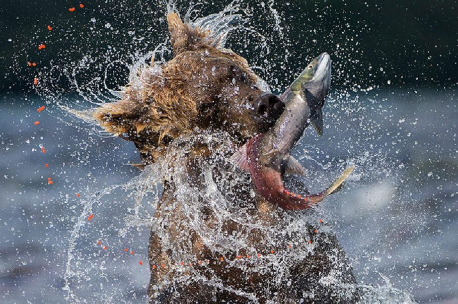 Esta foto do italiano Valter Bernardeschi recibiu unha mención especial no Wildelife Photographer of the Year que concede o Museo de Historia Natural de Londres. Cada verán millóns de salmóns emigran desde as augas do Pacífico, remontando os ríos de Rusia ata o lago Kuril. Buscan as frescas augas nas que naceron, moito tempo atrás e onde agora van facer a posta dos seus ovos. Así se completa o ciclo da vida. Pero un xigante tamén quere estar no guion desta película. Os salmóns convértense no alimento do oso para gañar forzas cara o inverno. (Cortesía do Natural History Museum de Londres)