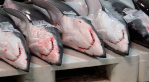 Tiburóns na lonxa do porto de Vigo