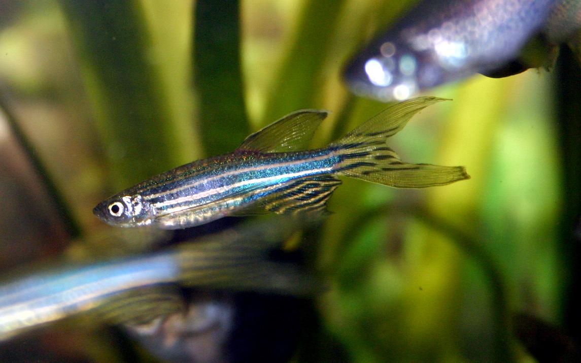 O traballo foi realizado sobre a base do peixe cebra.