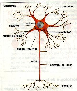 Estrutura dunha neurona.