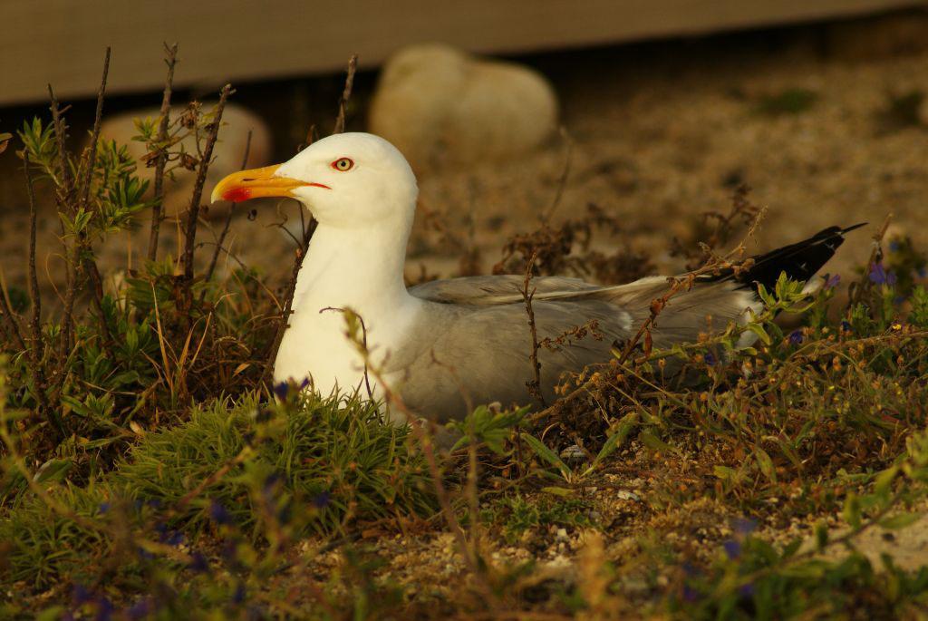 Un exemplar de gaivota amarela da illa de Sálvora.