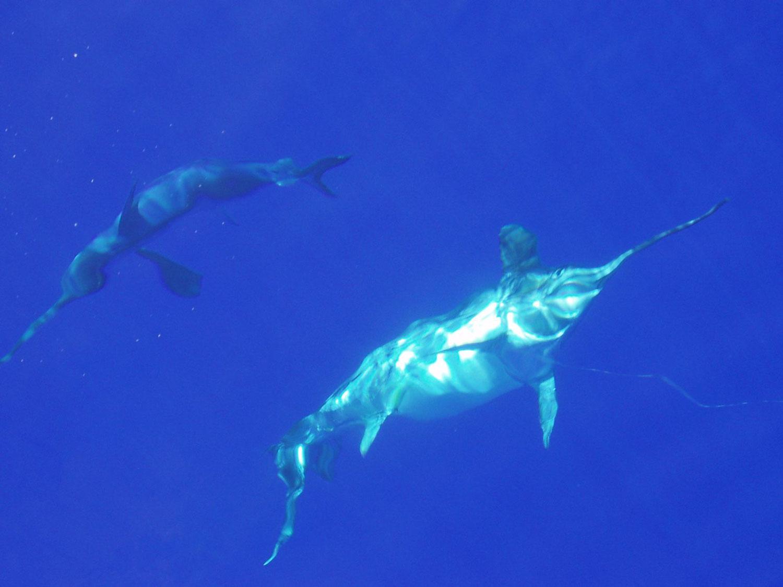 Ritual de cortexo do peixe espada