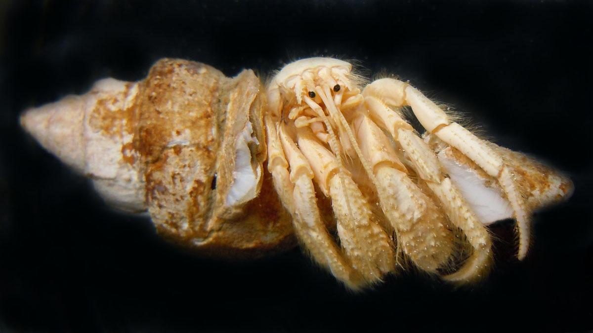 Paguristes candelae, a nova especie atopada por investigadores da UVigo e do IEO.