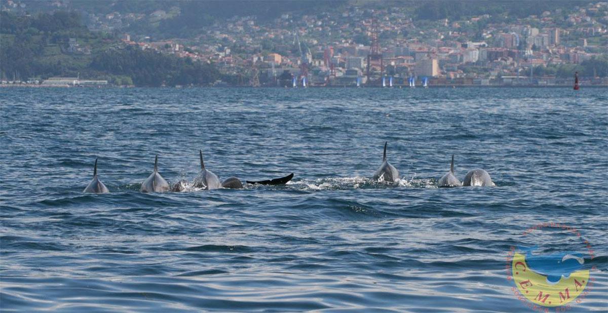 Manda de delfins na ria de Vigo