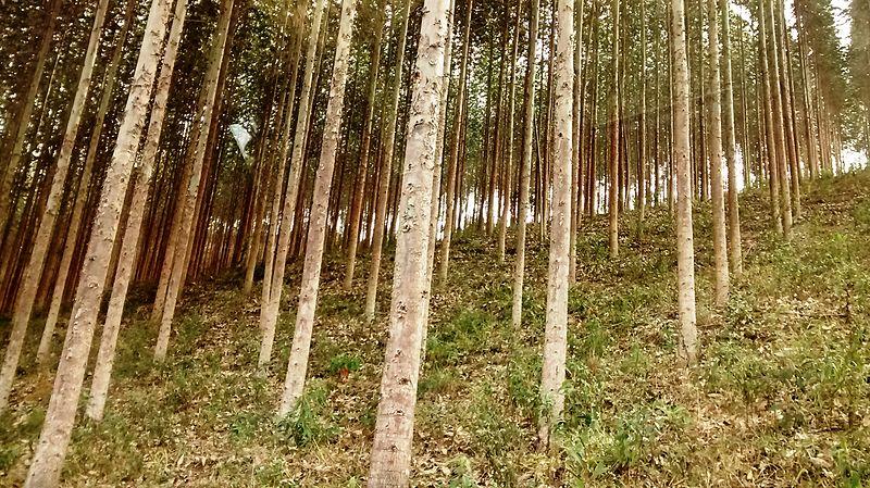Plantación eucaliptos