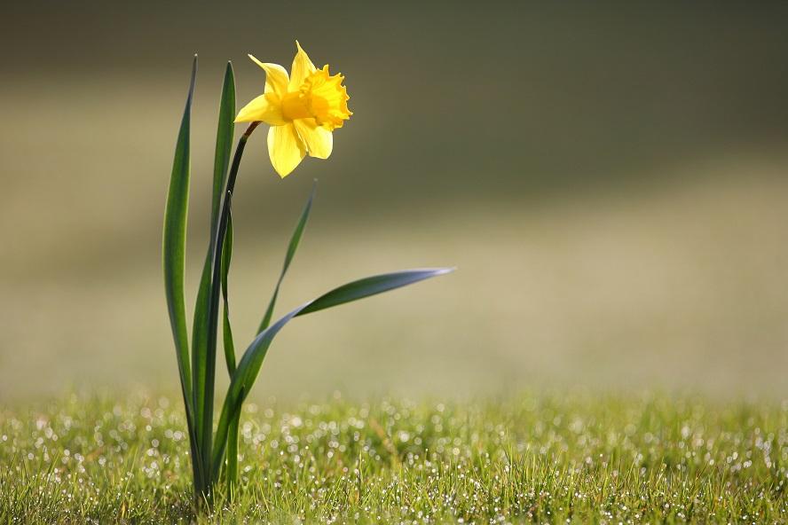 Os narcisos son plantas de gran beleza. O novo atopado en Galicia consérvase no herbolario de Lourizán.