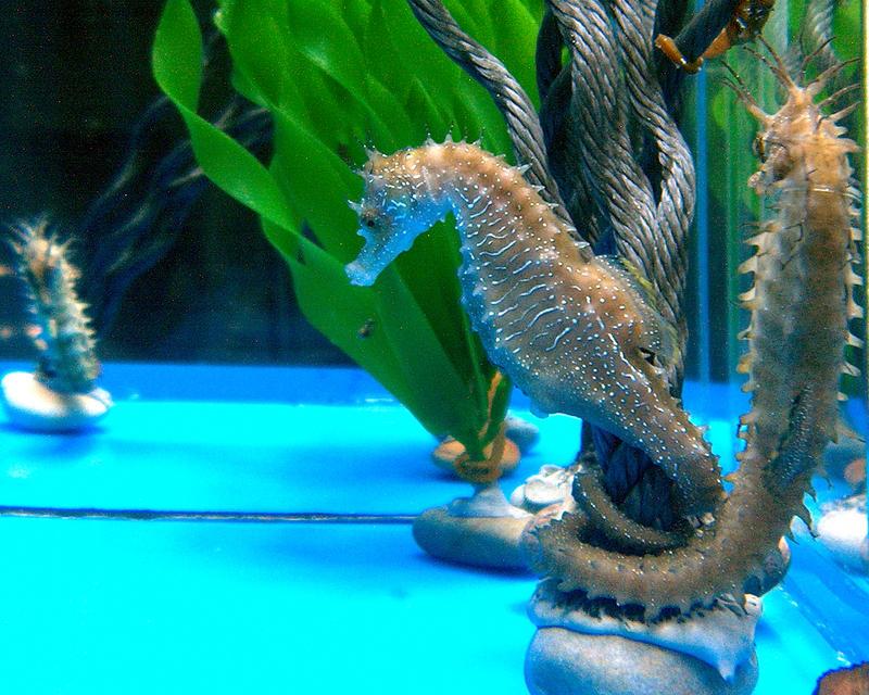 Hippocampus guttulatus criados no Instituto de Investigacións Mariñas de Vigo.