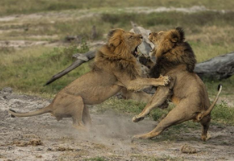 Cazadores ilegais matan a tiros a Jericho, o león que ocupou o lugar de Cecil como xefe da manda de leóns máis emblemática do Parque Nacional Hwange, en Zimbabue. Unha ONG local, Zimbabue Task Force, informou hoxe de que os cazadores furtivos entraron na reserva natural e abateron a tiros a Jericho, que era irmán de Cecil e que tiña axudado a éste a converterse no macho alfa, na loita que mantivo en 2009 co anterior líder da manda, Mpofu. Todo indicaba que Jericho ía converterse no novo líder. E que a consecuencia podería ser que matase ás crías do seu irmán, para volver aparearse coas femias e garantir a continuidade dos seus propios xenes. Se as novas de Zimbabue se confirman, Jericho tivo un reinado curto, abatido ás 16.00 horas do sábado, xusto un mes despois de que Cecil morrese cazado polo dentista estadounidense  Walter James Palmer.