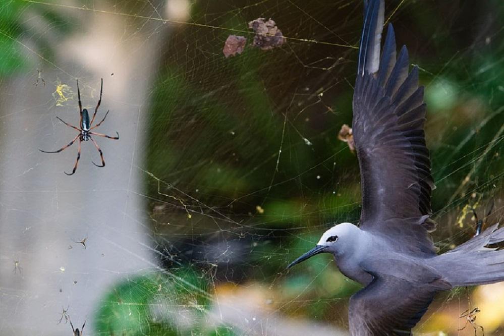 O fotógrafo sudafricano Isak Pretorius gañou o premio Wildlife Photographer of the Year, na categoría de paxaros, con esta foto titulada 'Situación pegañenta'. A imaxe foi tomada nas illas Seychelles e vemos unha araña de patas vermellas que ten atrapado na súa arañeira a un paxaro (un Anous Tenuirostris). O tamaño destas arañas pode chegar ao dunha man aberta e a súa arañeira supera a cotío os 1,5 metros. A forza da rede tendida polo aracnido impide a este paxaro escapar. Foi unha trampa pegañenta na súa visita anual ó arquipélago das Seychelles, onde acuden a aparearse. Cortesía de Natural History Museum.