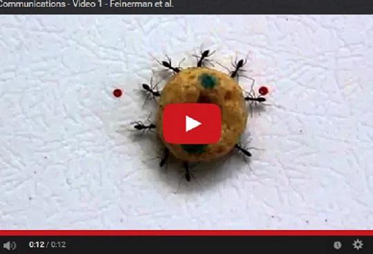 Vídeo de 'Nature Communications' usado na investigación, no que as formigas scout guían ás transportadoras.