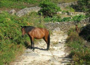 Exemplar de cabalo galego de monte.