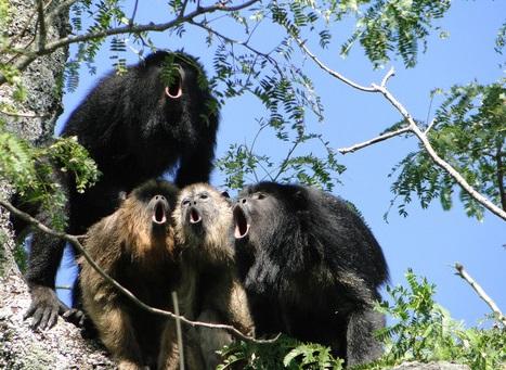 A voz do mono ouveador chega a cinco quilómetros e atrae ás femias.