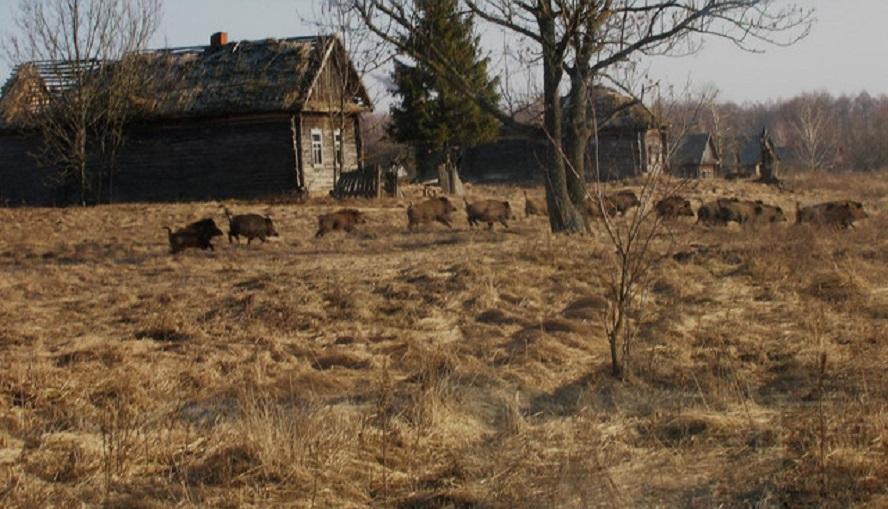 Unha manda de porcos bravos corre no entorno de Chernóbil. Foto: VALERIY YURKO.