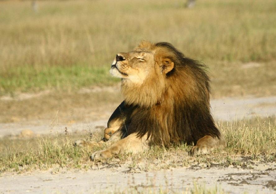 Un estudo, publicado na revista PNAS, informa do rápido descenso nas poboacións de leóns en toda África, a excepción do África meridional. Os científicos, liderados polo Centro Recanati-Kaplan da Universidade de Oxford (Reino Unido), recompilaron avaliacións das poboacións de leóns desde 1990 (que abarca 47 grupos) e utilizaron un método estatístico para estimar a taxa de crecemento de cada poboación. Os datos revelaron fortes caídas en case todas as poboacións de leóns no centro-oeste de África. Así mesmo, as poboacións de África oriental tamén diminuíron, e os autores estiman que a rexión este perderá polo menos a metade dos seus leóns nas próximas dúas décadas. Nos países de África meridional, Botswana, Namibia, Sudáfrica e Zimbabwe, onde a maioría das poboacións de leóns atópanse en reservas cercadas, as poboacións parecen estar en aumento. Segundo os expertos, este feito suxire a importancia do financiamento das reservas xestionadas intensamente para manter as mandas de leóns. A rápida desaparición de felinos en moitas zonas do continente africano suxire tamén un importante cambio ecolóxico, onde os leóns xa non xogan o papel de depredador.