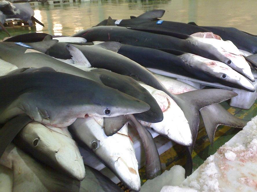 Quenllas esperando a poxa no porto de Vigo.