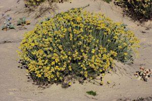 O novo cogomelo vive sobre unhas ramas mortas da planta dunar Helichrysum picardii.