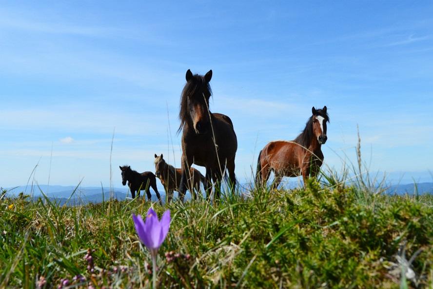 O cabalo galego de monte é considerado 'patrimonio natural' de Galicia.