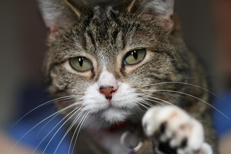 Os gatos saben a quen pedir e manipulan aos seus donos, pero son reservados cos estraños.