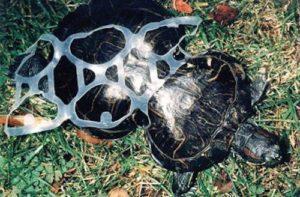 Tartaruga coa súa coiraza deformada ao quedar de cativa atrapada por un plástico de 6 bebidas.