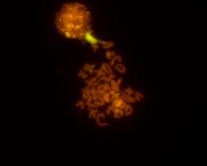 Cariotipo de Ensis minor, unha especie que habitualmente se confunde coa Ensis siliqua