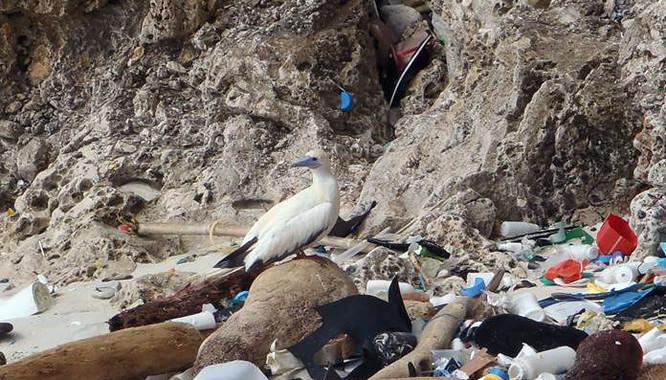 O estudo internacional calcula que en 2050 case a totalidade (99%) das aves mariñas terán inxerido plástico.