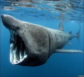 Tiburón peregrino.