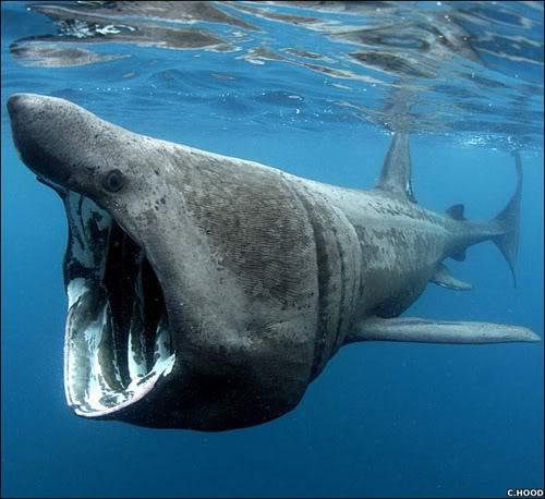 Tiburón ballena.