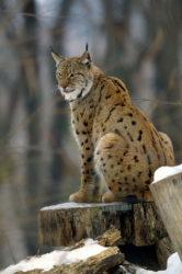 O lince boreal, chamado 'lobo cerval' ou 'O Tigre'.