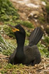 O corvo mariño cría só en determinados lugares da costa