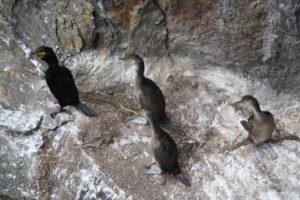 O corvo mariño aniña nos cantís de Cíes.