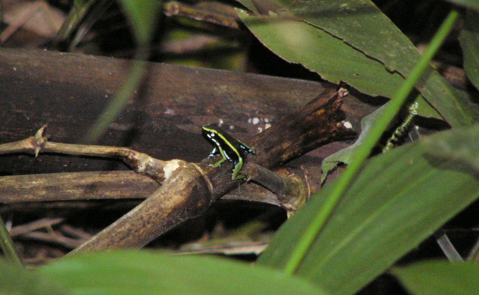 Epipedobates trivittatus, unha das especies rexistradas no estudo e fotografada en Manu (foto: G. Mucientes / BEC)