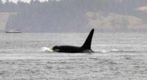 Orcas depredando na baía de Vancouver.