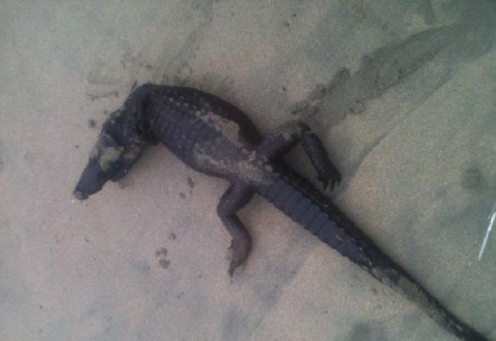 O crocodilo foi atopado por un veciño que paseaba pola praia de Malpica.