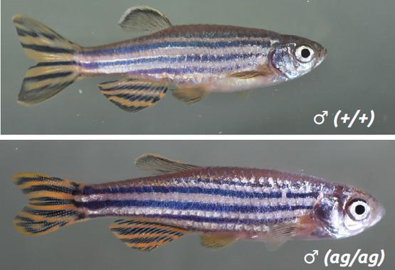 Comparación entre o peixe transxénico (arriba), e o salvaxe (abaixo).