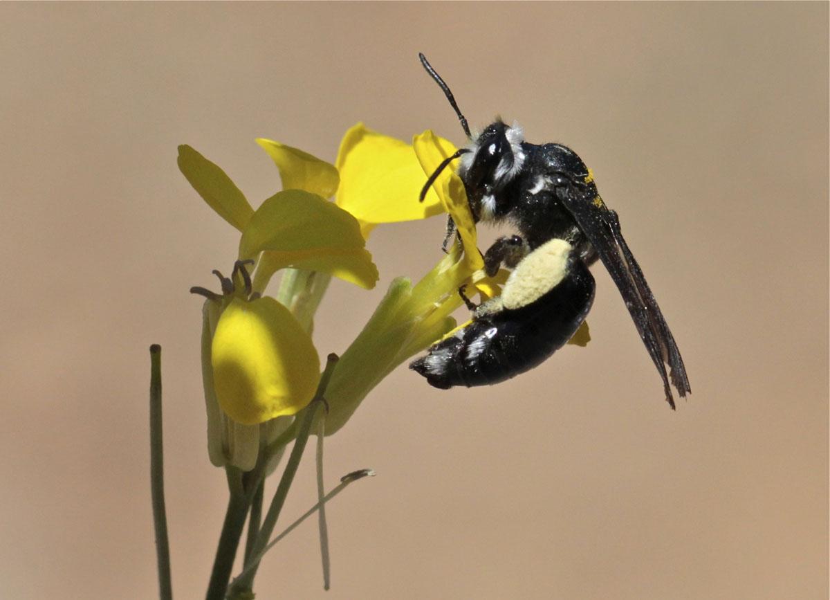 Andrena agilissima