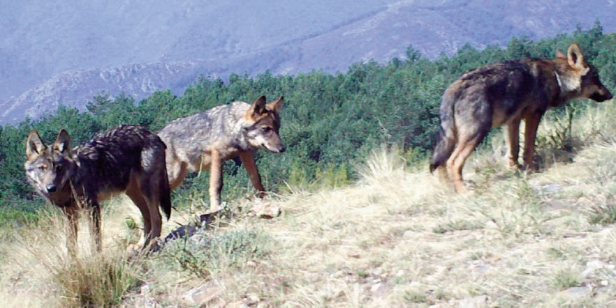 Crías de lobo duns catro meses e medio. Fotos: Pedro Alonso / Juan Villar.