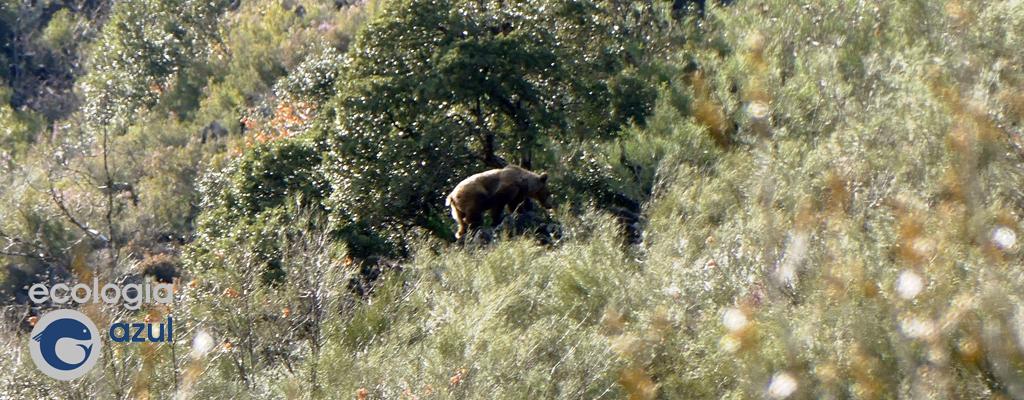 Oso pardo cantábrico no seu hábitat. Foto: G. Mucientes.