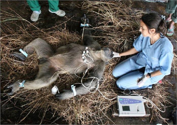 Rebeca Atencia practica un electrocardiograma a un chimpancé.