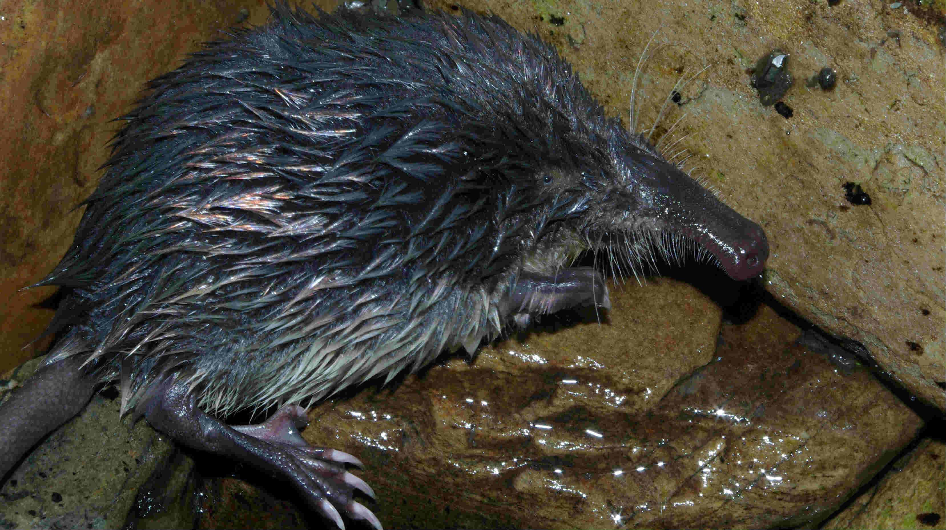 A vida semiacuática e nocturna desta toupa convértea nunha gran descoñecida.
