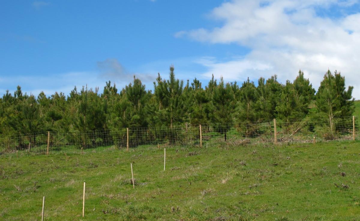 Plantación de pinus pinaster empregada na investigación.