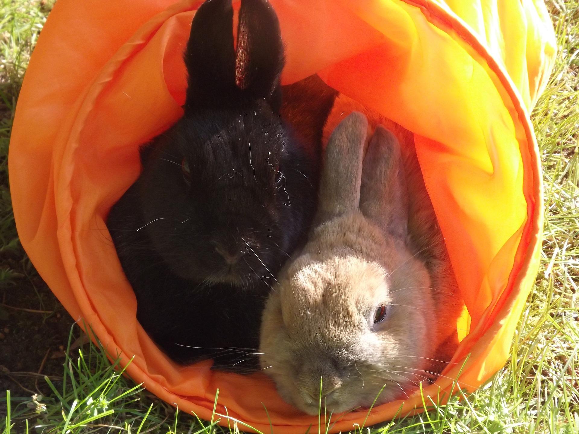 O coello xa é a terceira mascota tras do can e o gato.