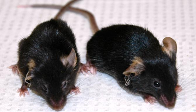 Ratos con proxeria usados no estudo.