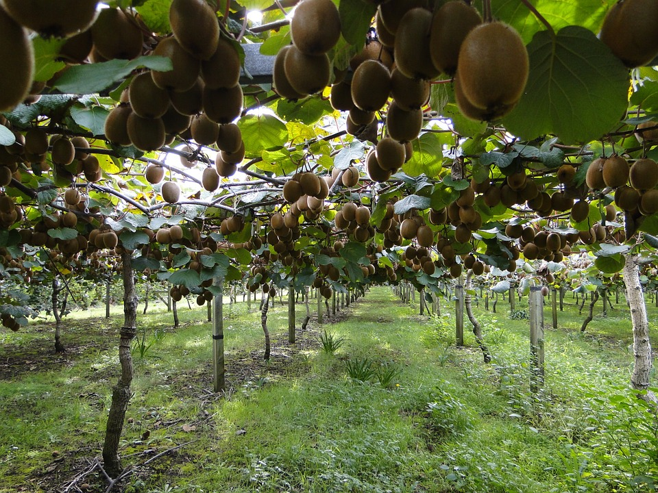O chancro bacteriano do kiwi provoca perdas nas plantacións.