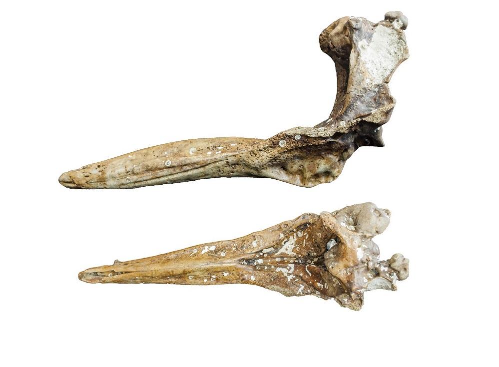 Fósiles da nova especie de cetáceo do Mioceno descrito pola SGHN.