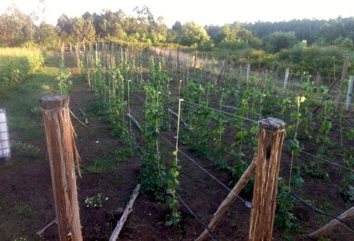 Plantación de cabazas de Esponjas Vegetales Luffa, en Caldas de Reis.