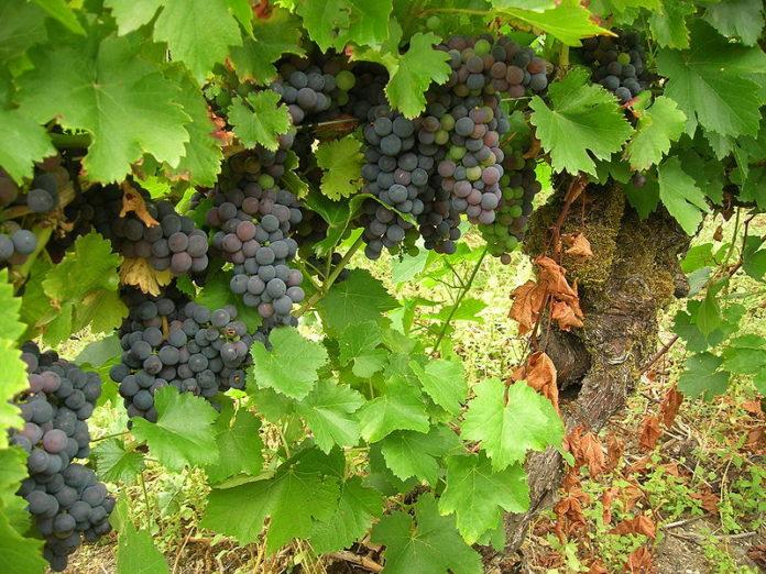 Plantacións de uva da variedade mencía.
